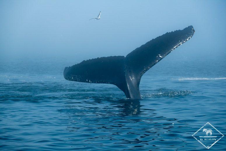 Baleine à bosse, fleuve Saint-Laurent