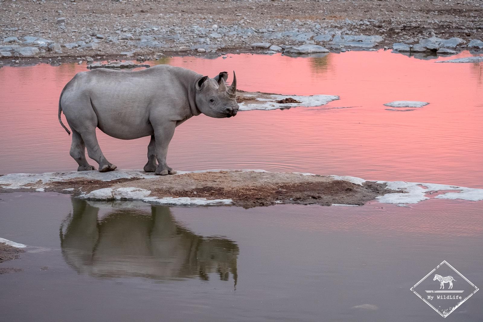 Rhinocéros au waterhole d'Halali, parc national d'Etosha
