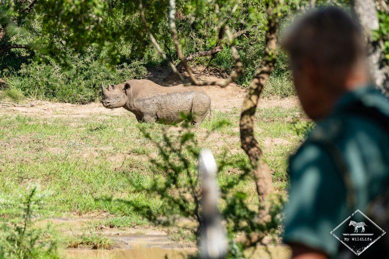 Rhinocéros noir, iMfolozi Wilderness Trails