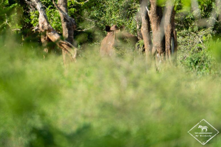 Rhinocéros, iMfolozi Wilderness Trails
