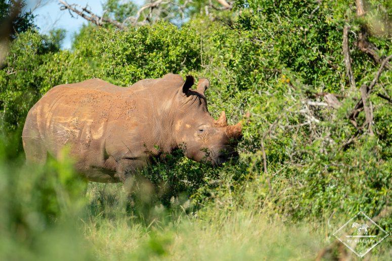 Rhinocéros blanc, iMfolozi Wilderness Trails