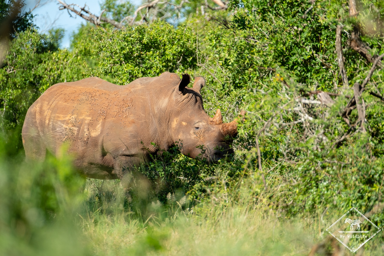 Rhinocéros blanc, iMfolozi Wilderness Trails