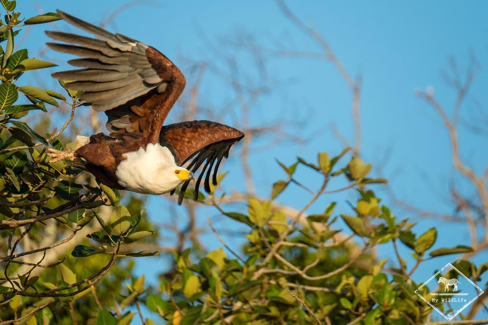 Pygargue vocifère, parc national Isimangaliso