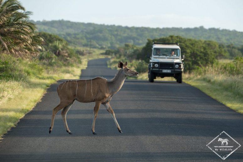 Grand Koudou, parc national Isimangaliso