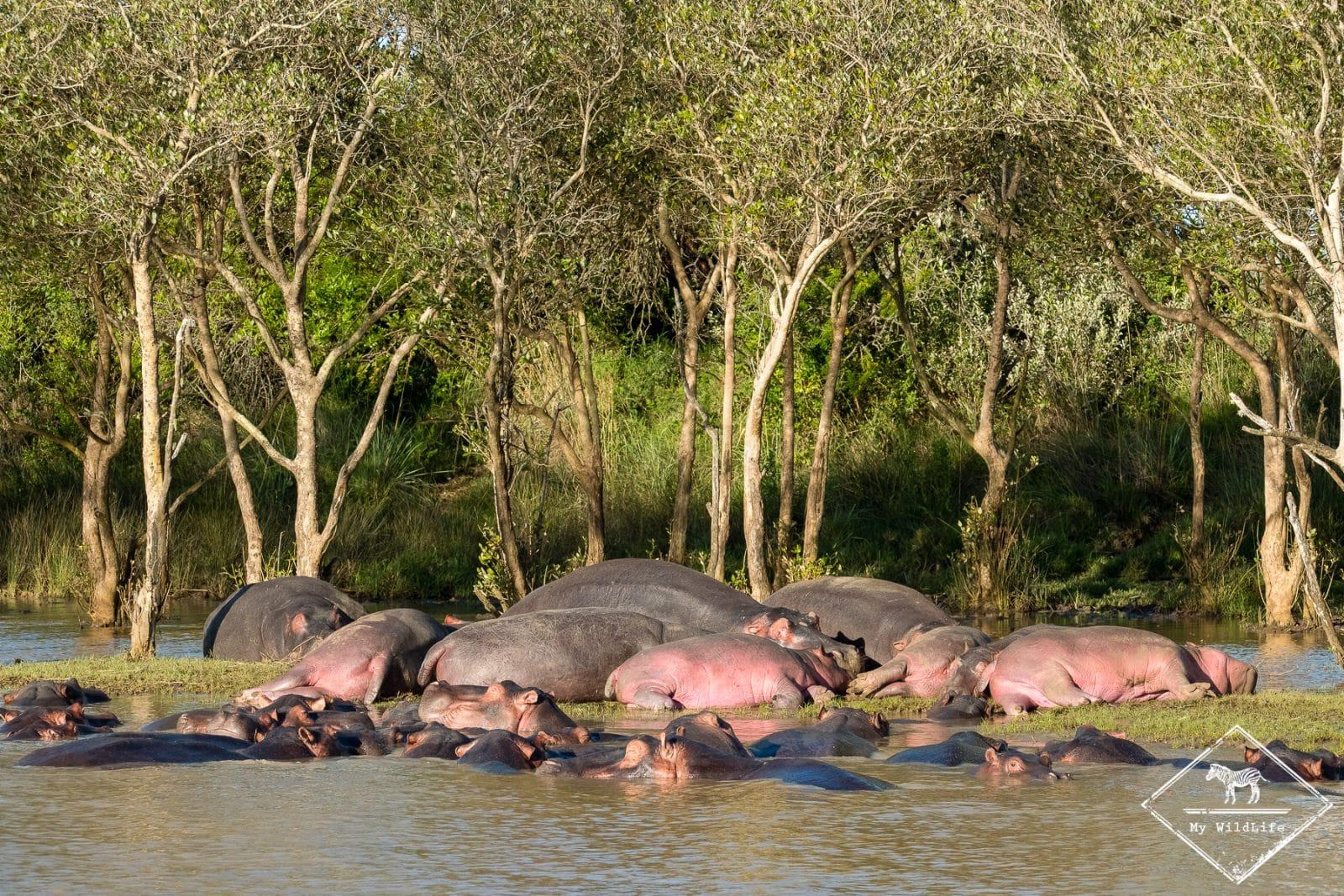 Hippopotames, parc national Isimangaliso