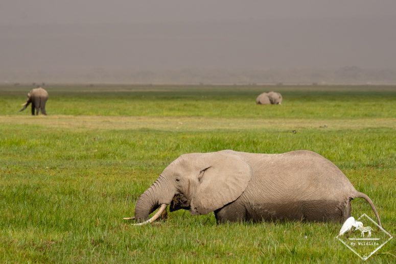 Eléphants, Safari à Amboseli