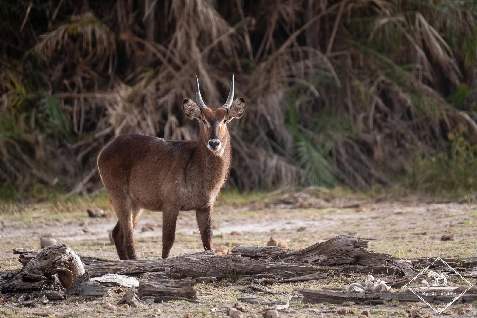 Cobe, Safari à Amboseli