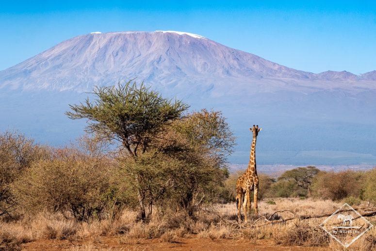 girafe, Safari à Amboseli