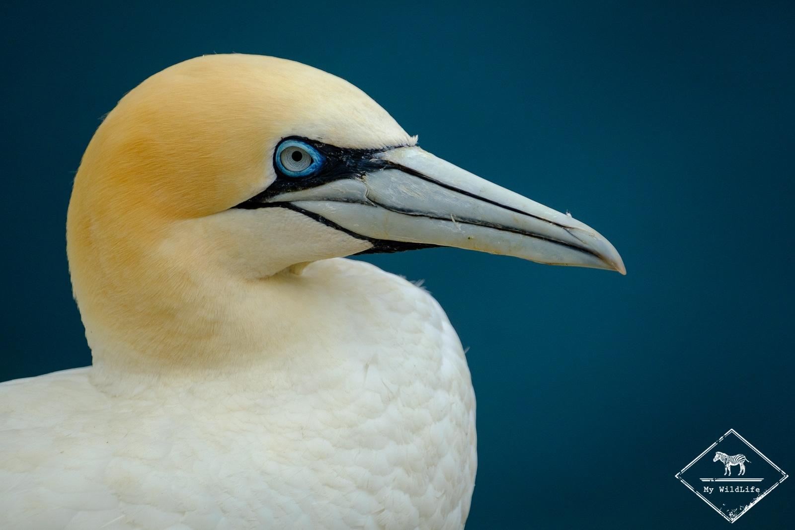 fou de bassan, Voyage Photo Ornithologie en Ecosse