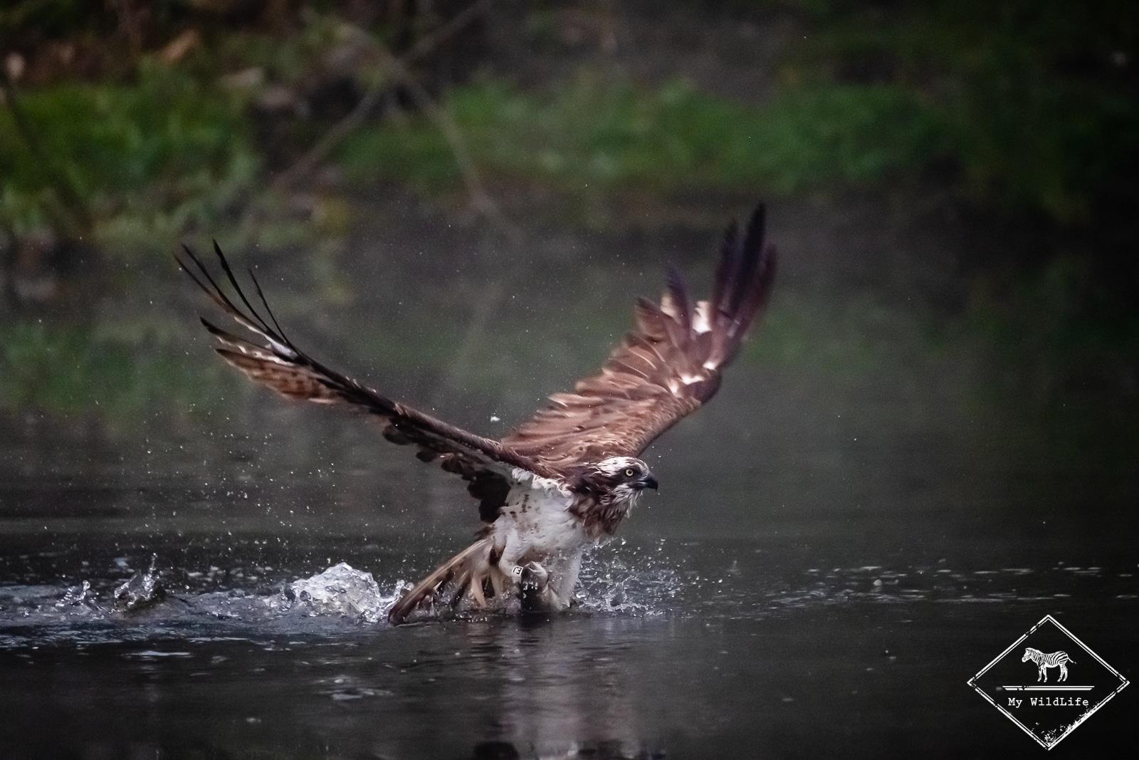Balbuzard pêcheur, Voyage Photo Ornithologie en Ecosse