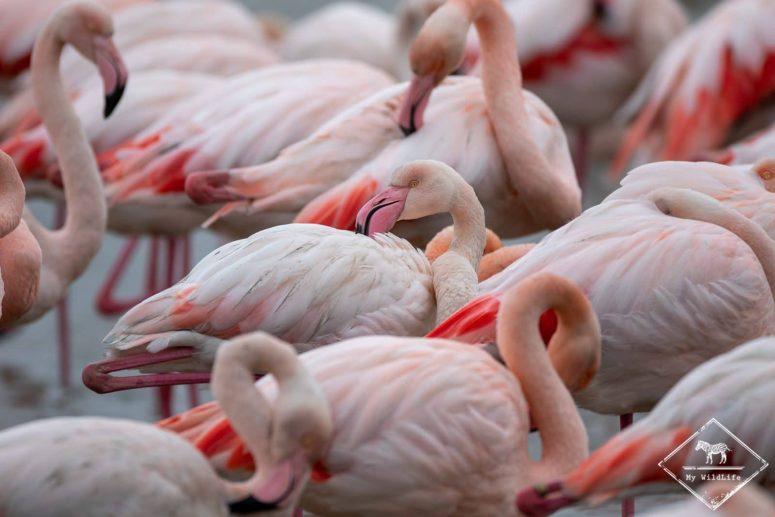 Flamants roses, parc ornithologique de Pont de Gau