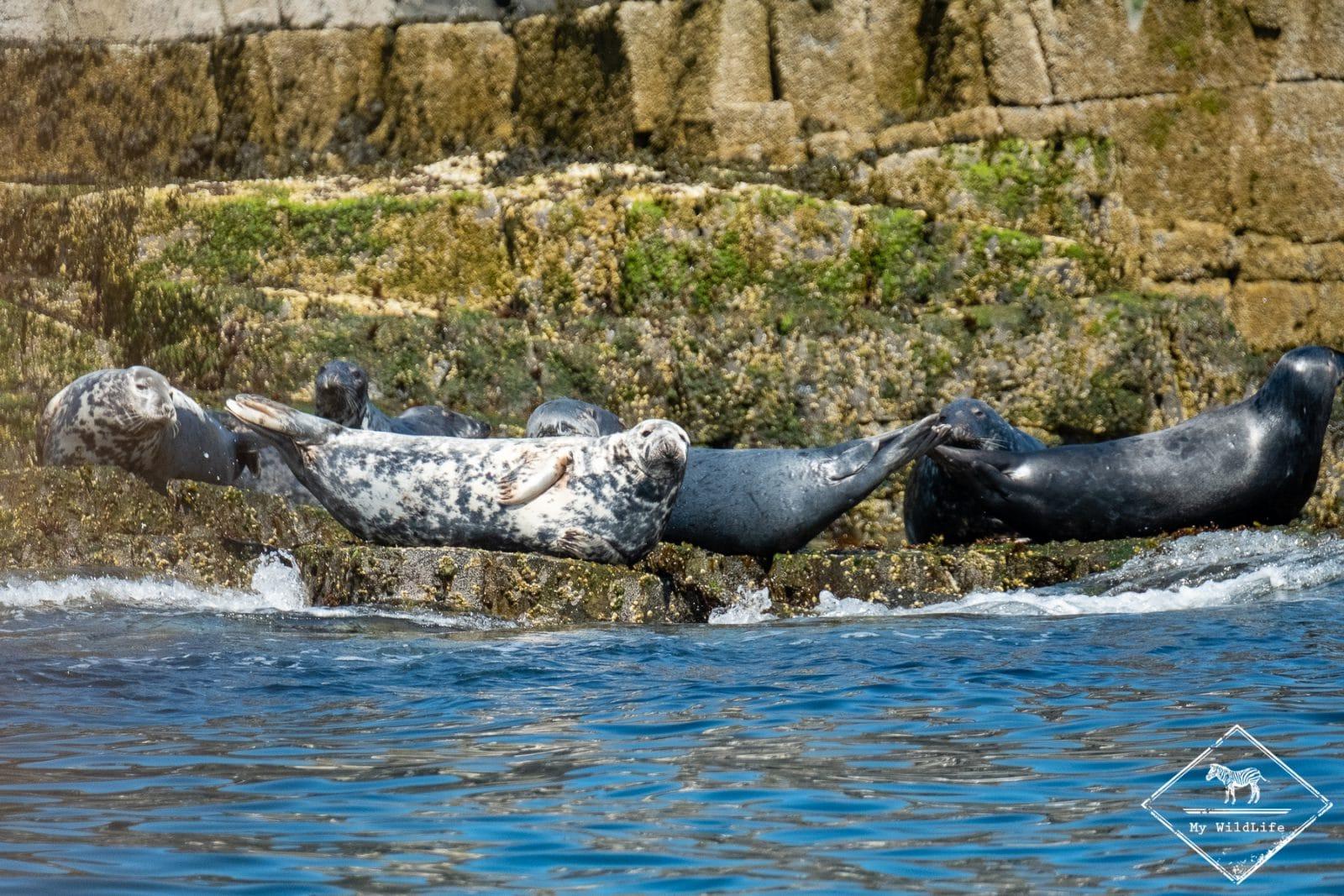 Phoques gris, île de May