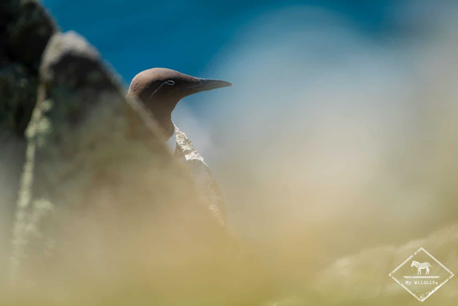 guillemot de troïl, île de May