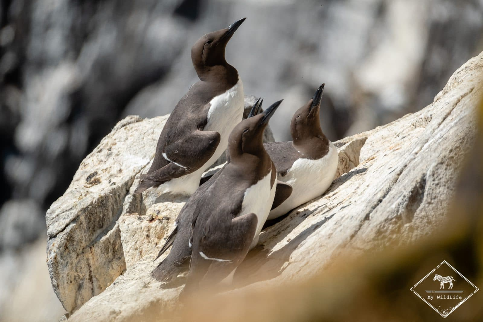 Guillemots de troïl, île de May