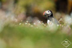 Observation des oiseaux sur l'île de May en Ecosse