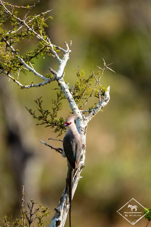 coliou huppé, Lumo Wildlife Sanctuary