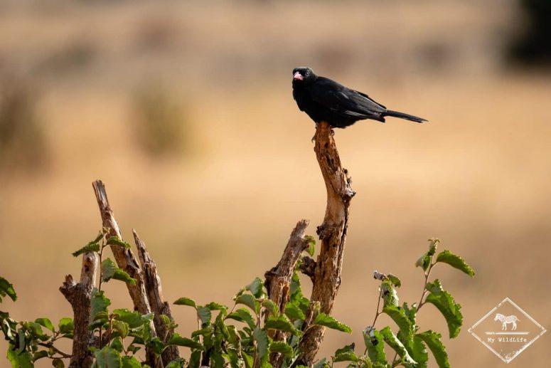 alecto à bec rouge, Lumo Wildlife Sanctuary