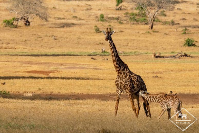 girafes, Lumo Wildlife Sanctuary