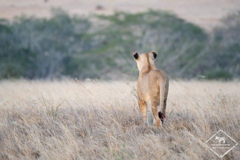 Lionne blessée à la patte, Lumo Wildlife Sanctuary