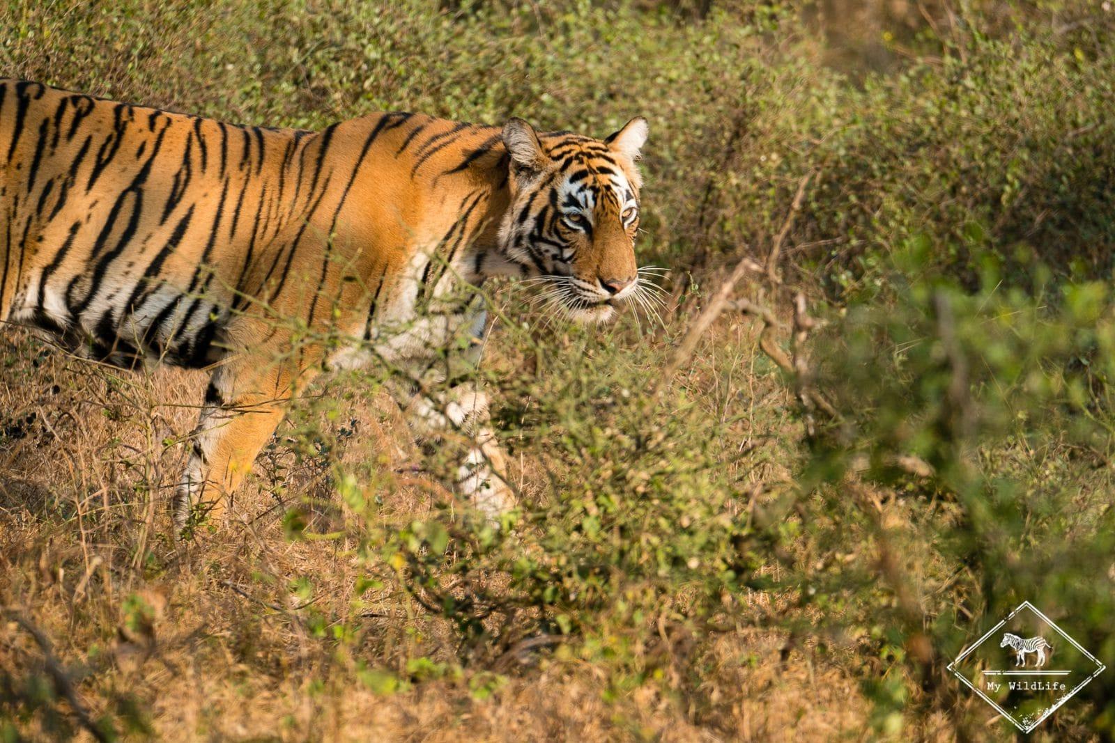 Tigre, Ranthambore