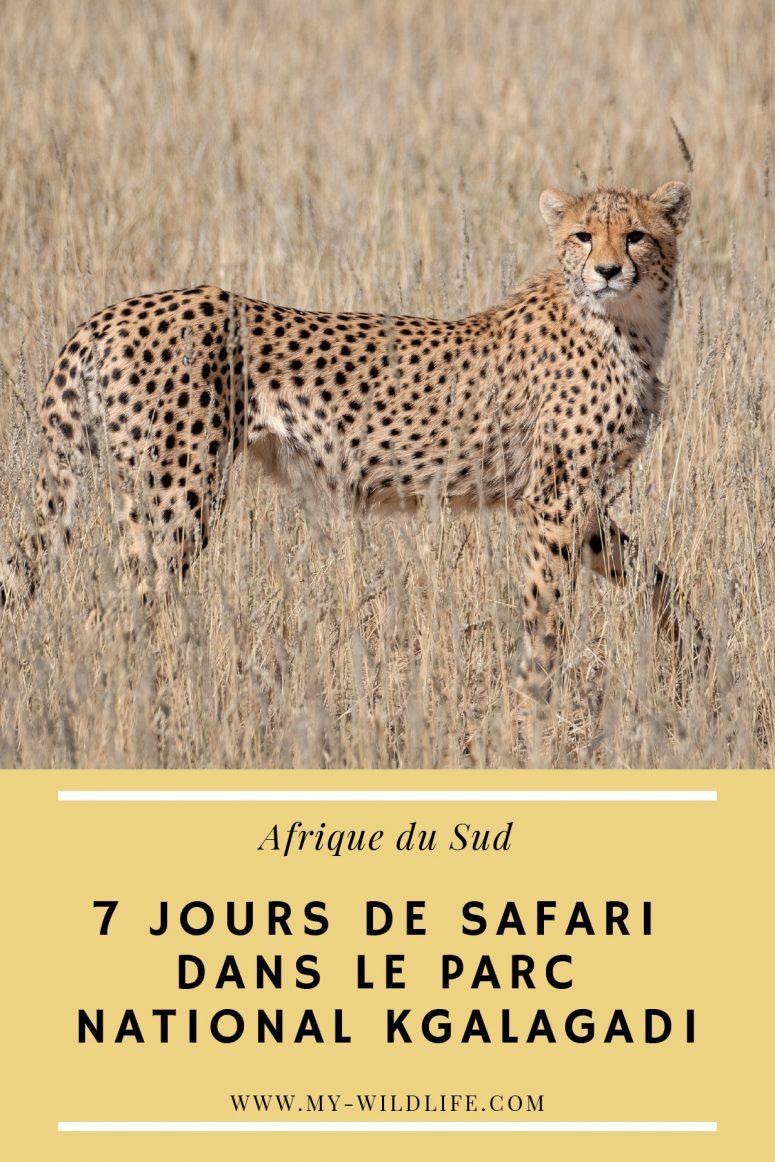 Safari dans le parc national Kgalagadi