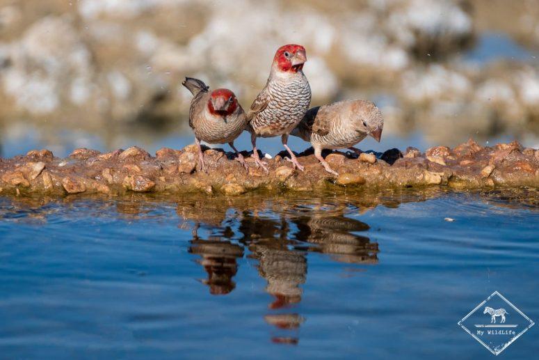 Amadines à tête rouge, parc national Kgalagadi