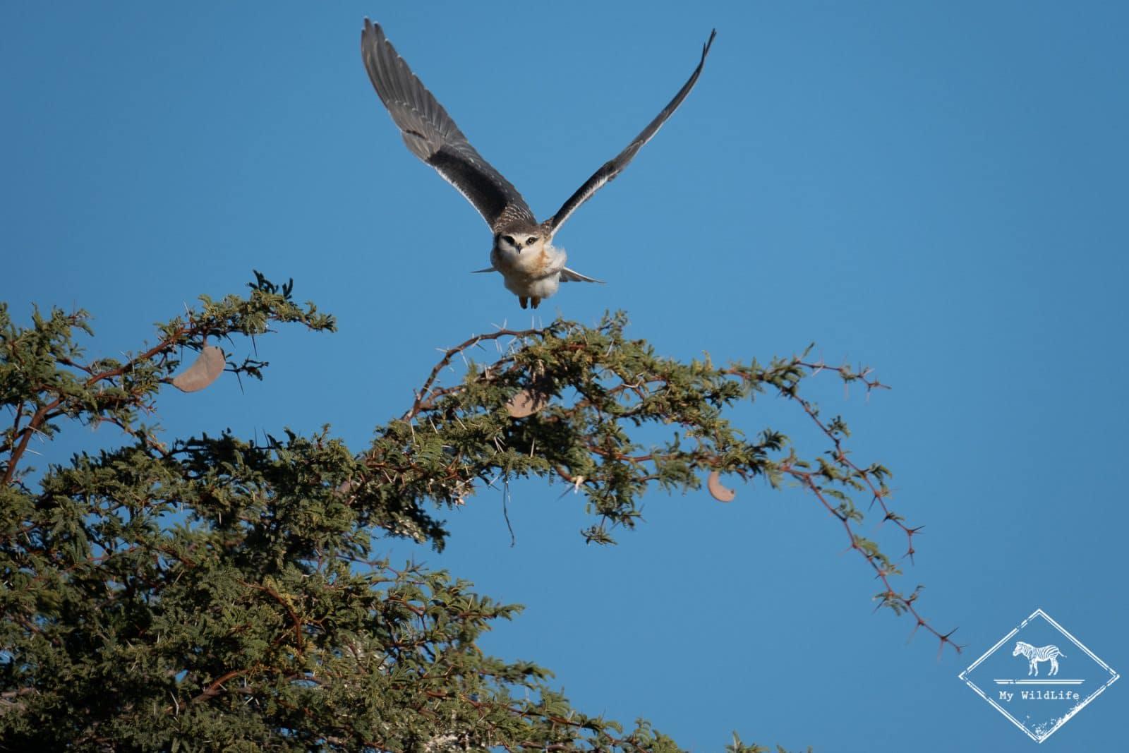 Fauconnet d'Afrique, parc national Kgalagadi