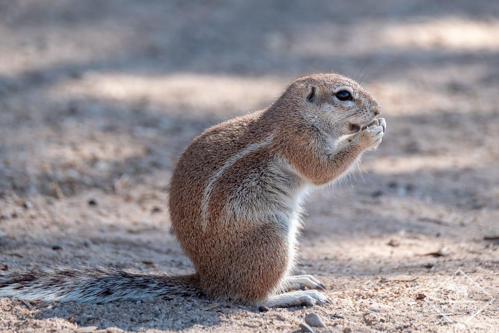Ecureuil terrestre du CapColiou à dos blanc
