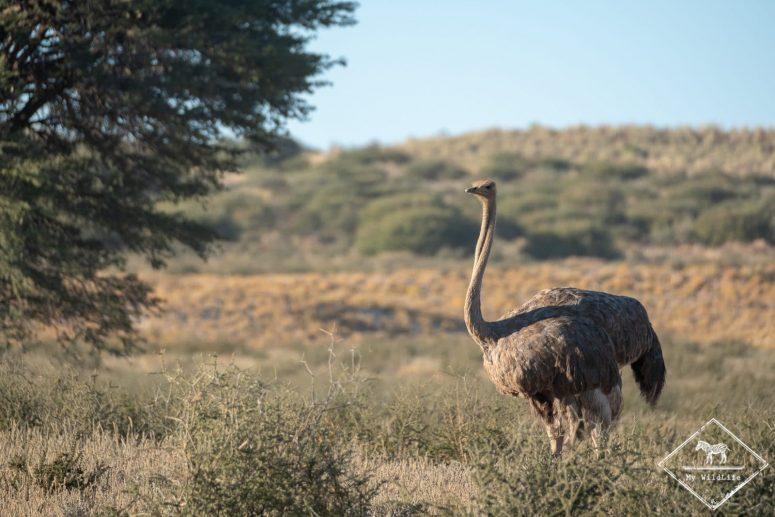 Autruche, parc national Kgalagadi