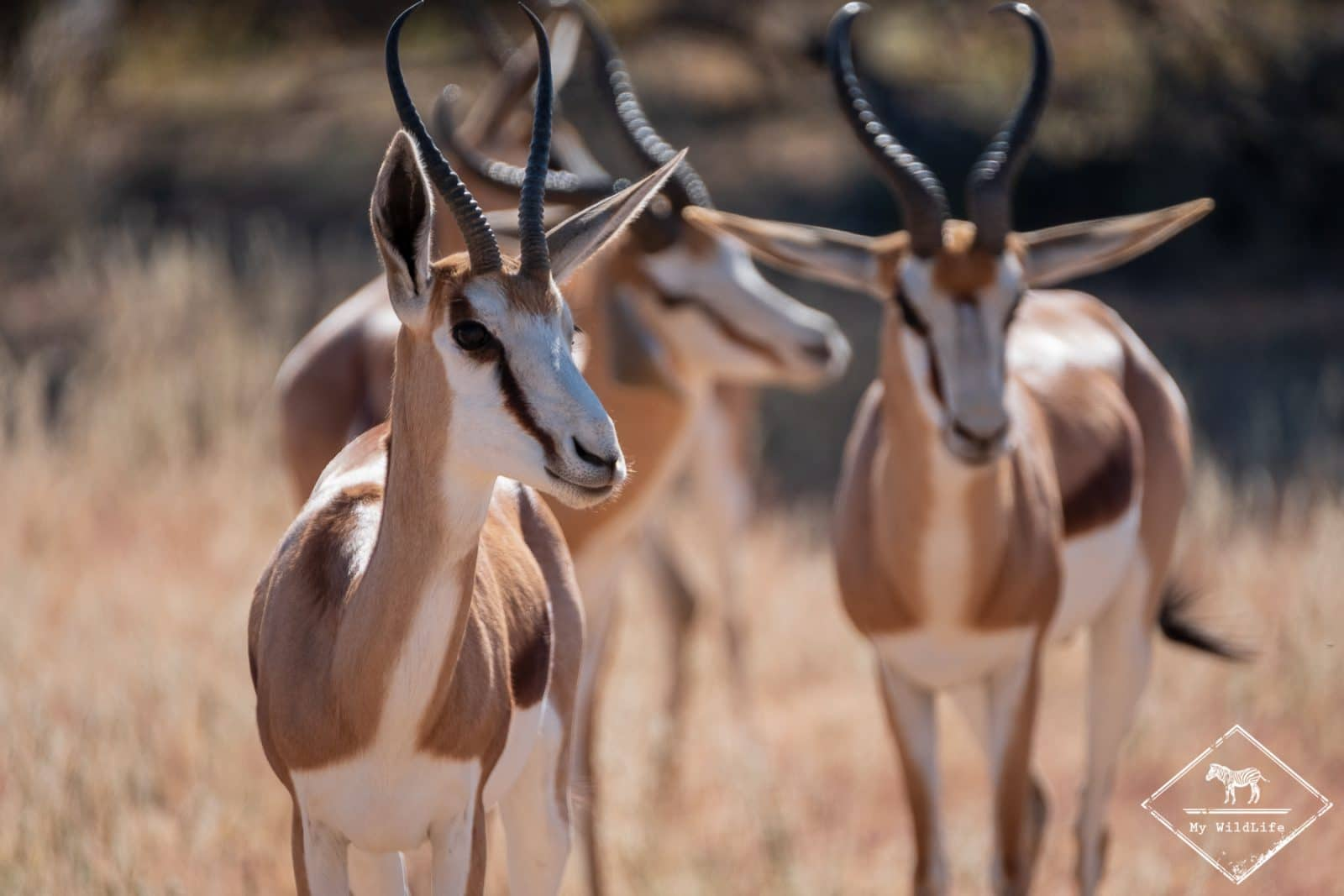 parc national Kgalagadi, springboks
