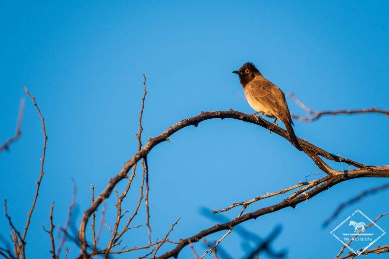 Bulbul brunoir, parc national Kgalagadi