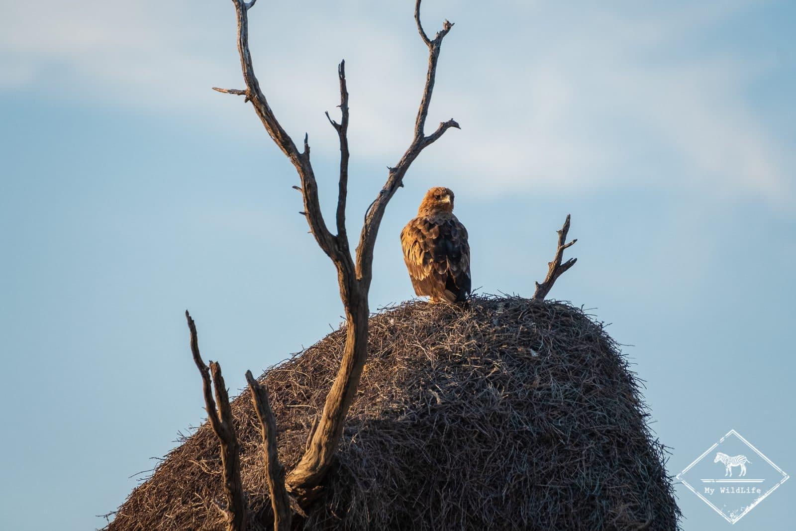 Aigle ravisseur, parc national Kgalagadi