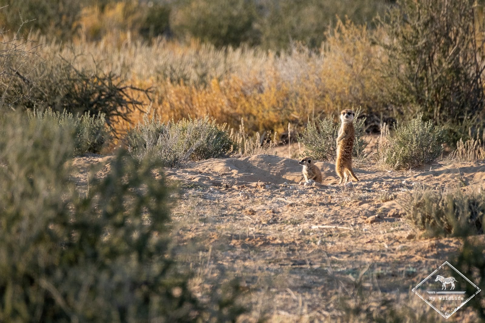 Suricates, parc national Kgalagadi