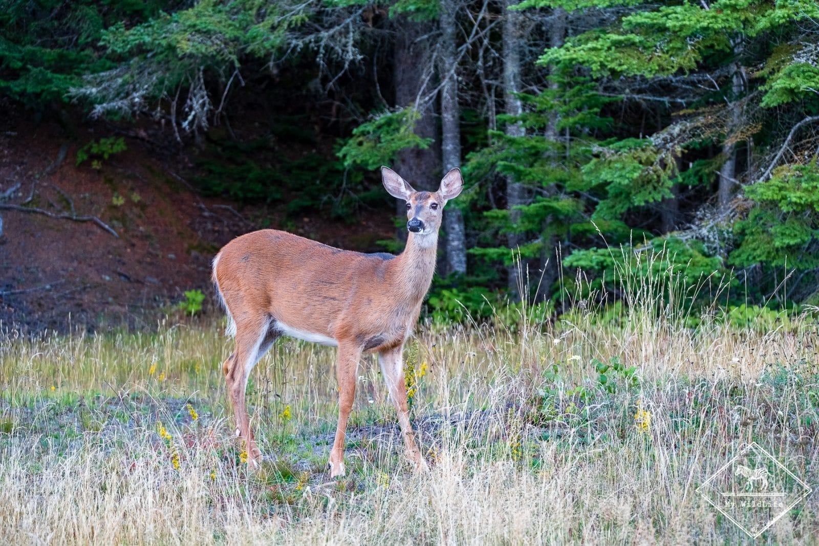 Cerf de Virginie, Parc national du Bic
