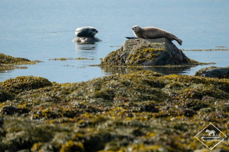 Phoque commun, Parc national du Bic