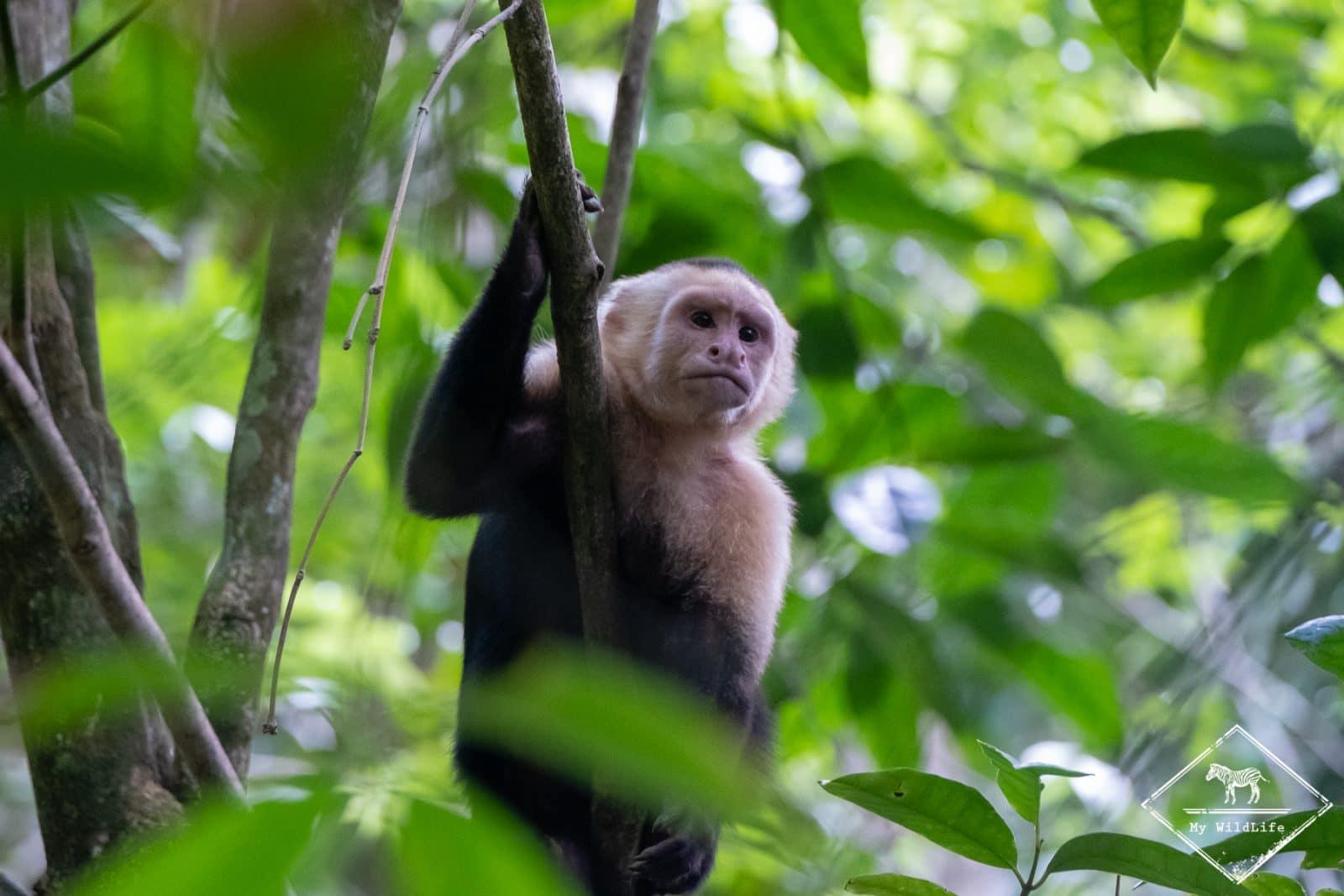 Animaux du Costa Rica, capucin à tête blanche