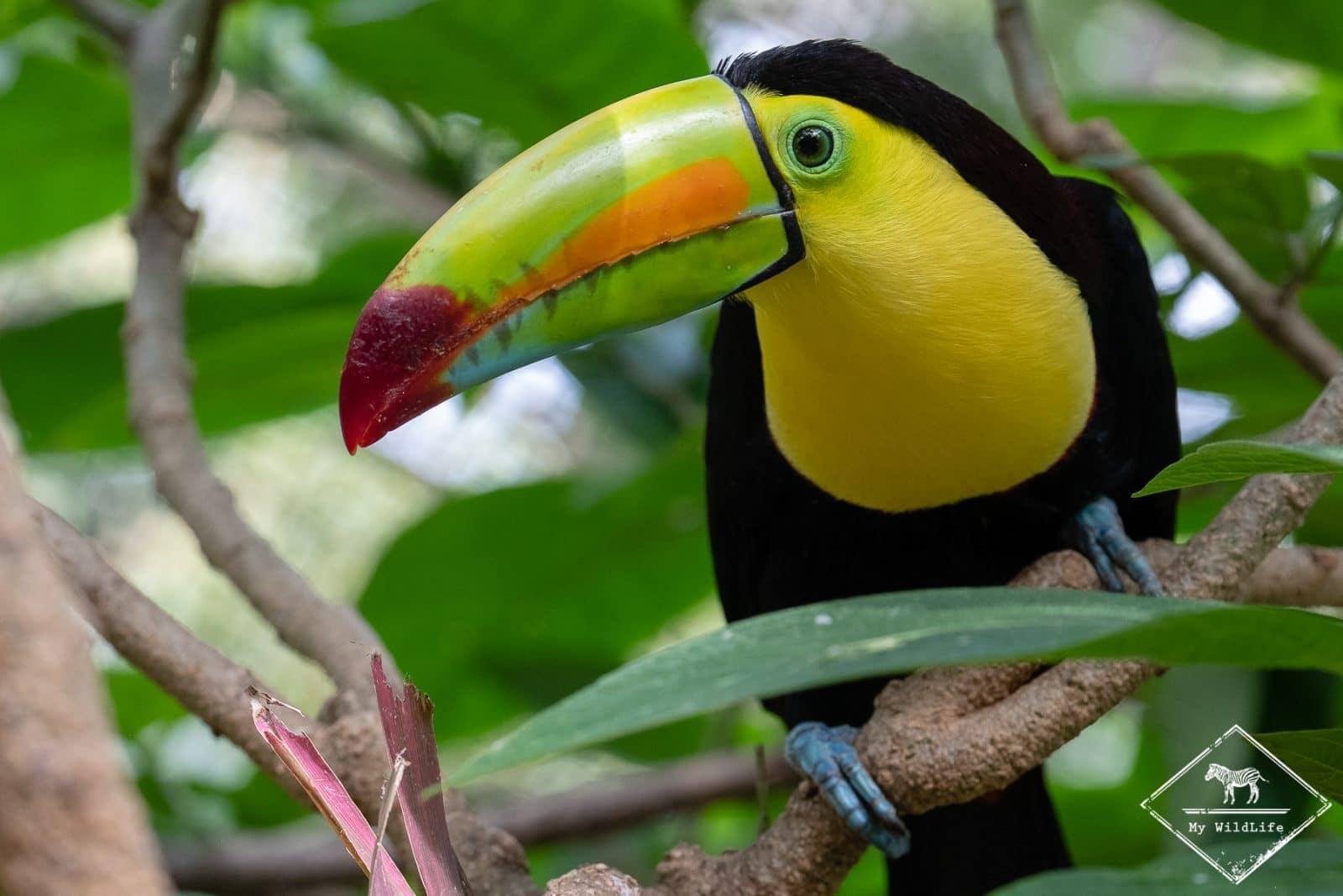 Animaux du Costa Rica, toucan de carène