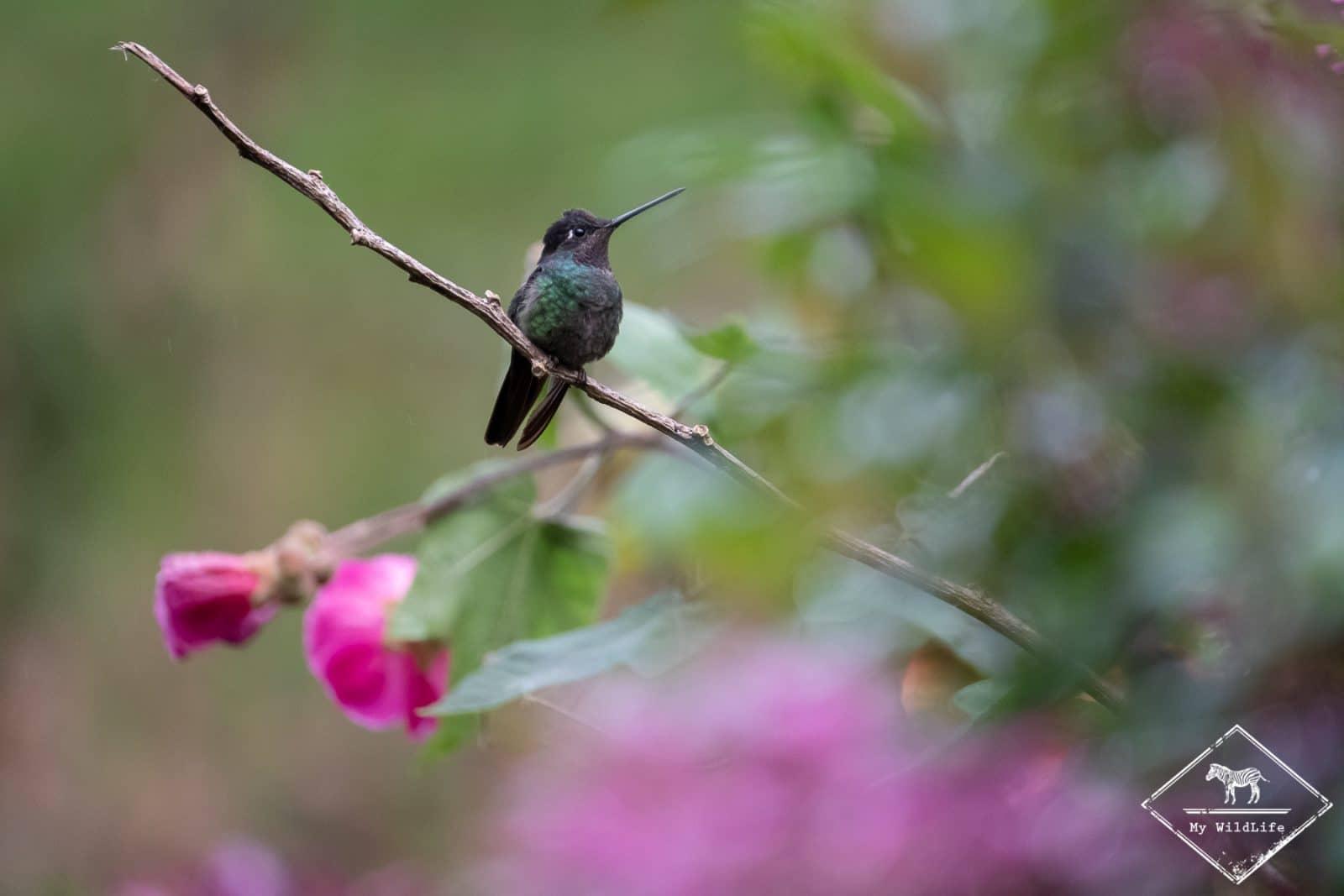 Animaux du Costa Rica, Colibri de Rivoli