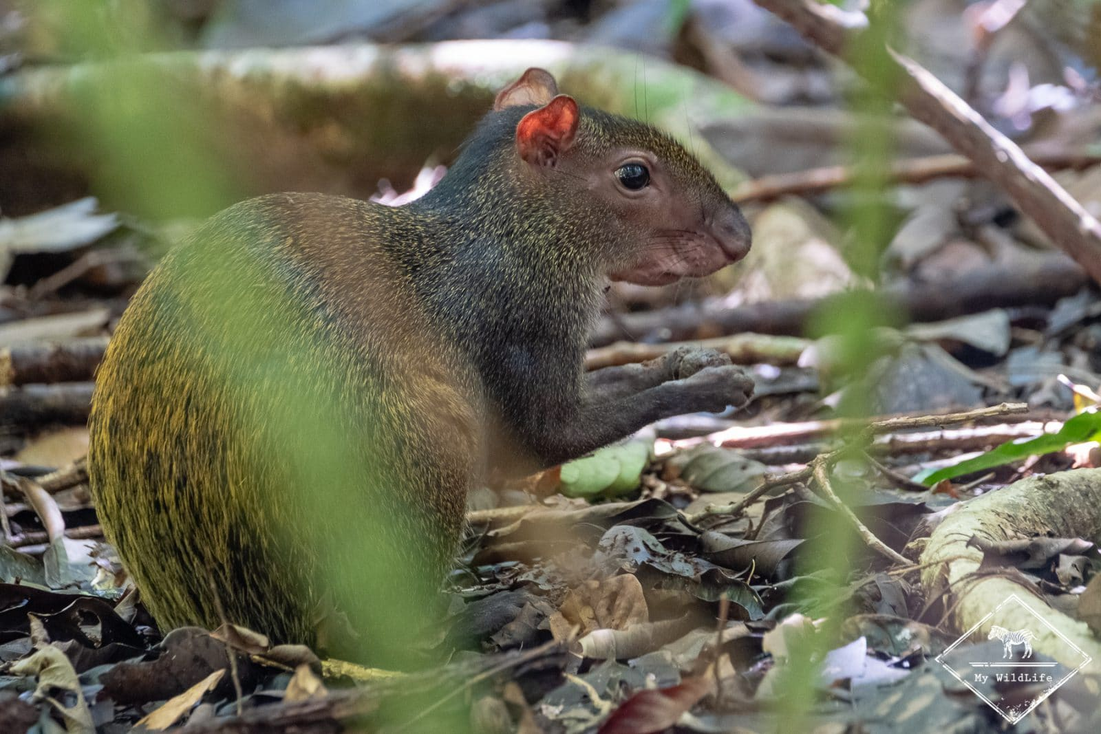 Animaux du Costa Rica, agouti