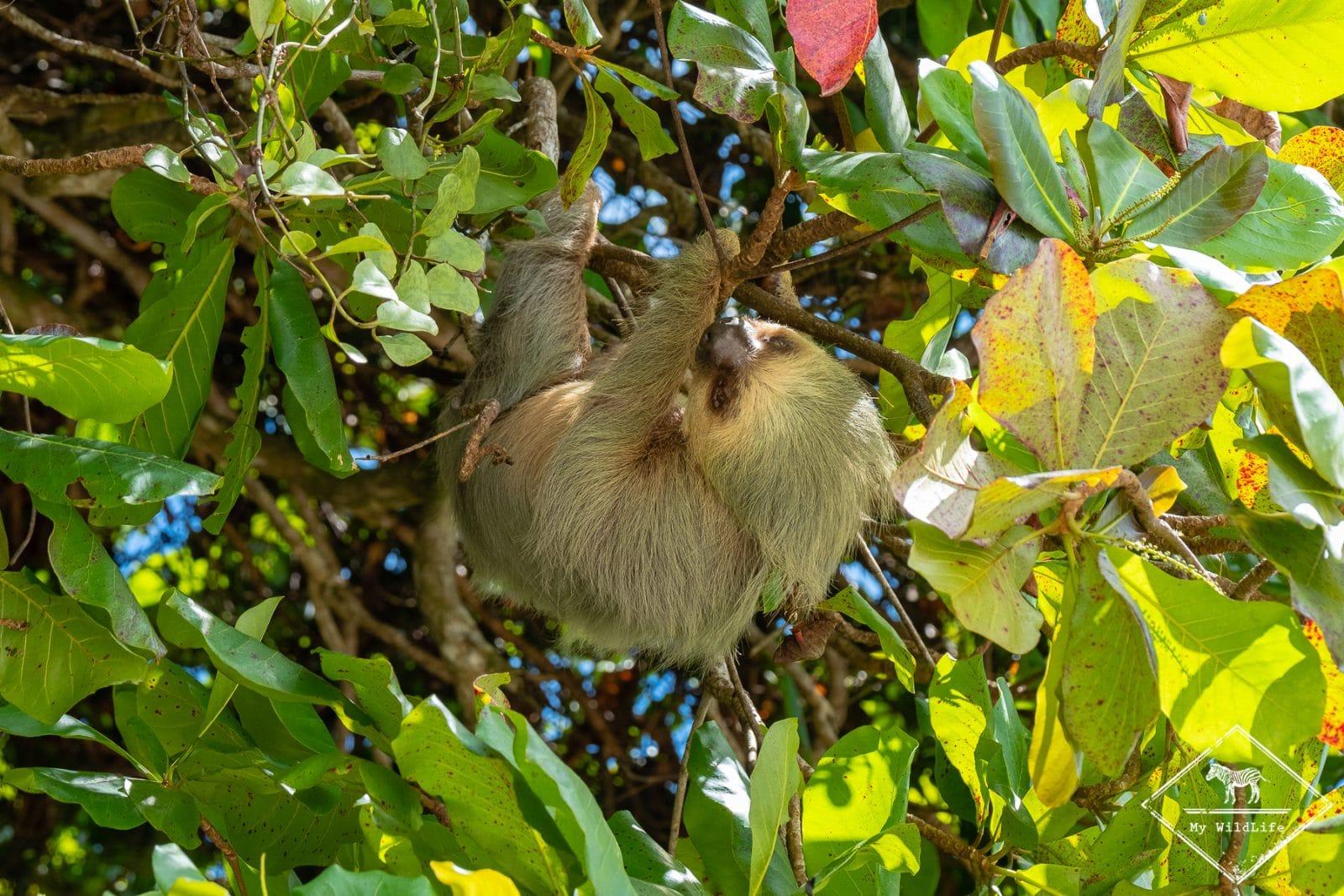 Animaux du Costa Rica, paresseux à 2 doigts