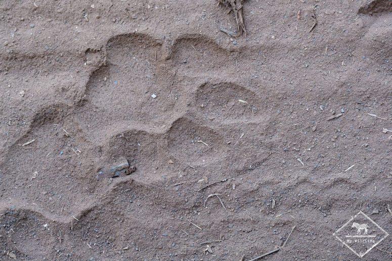 Empreinte de tigre, parc national Ranthambore