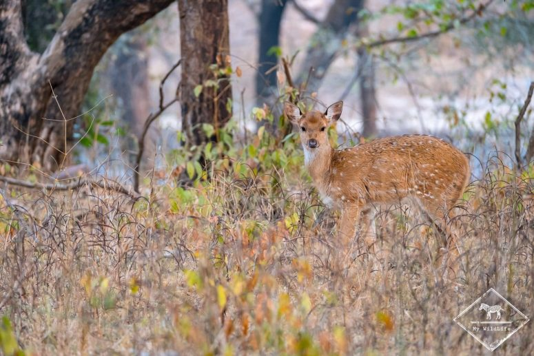 Cerf Axis, parc national Ranthambore