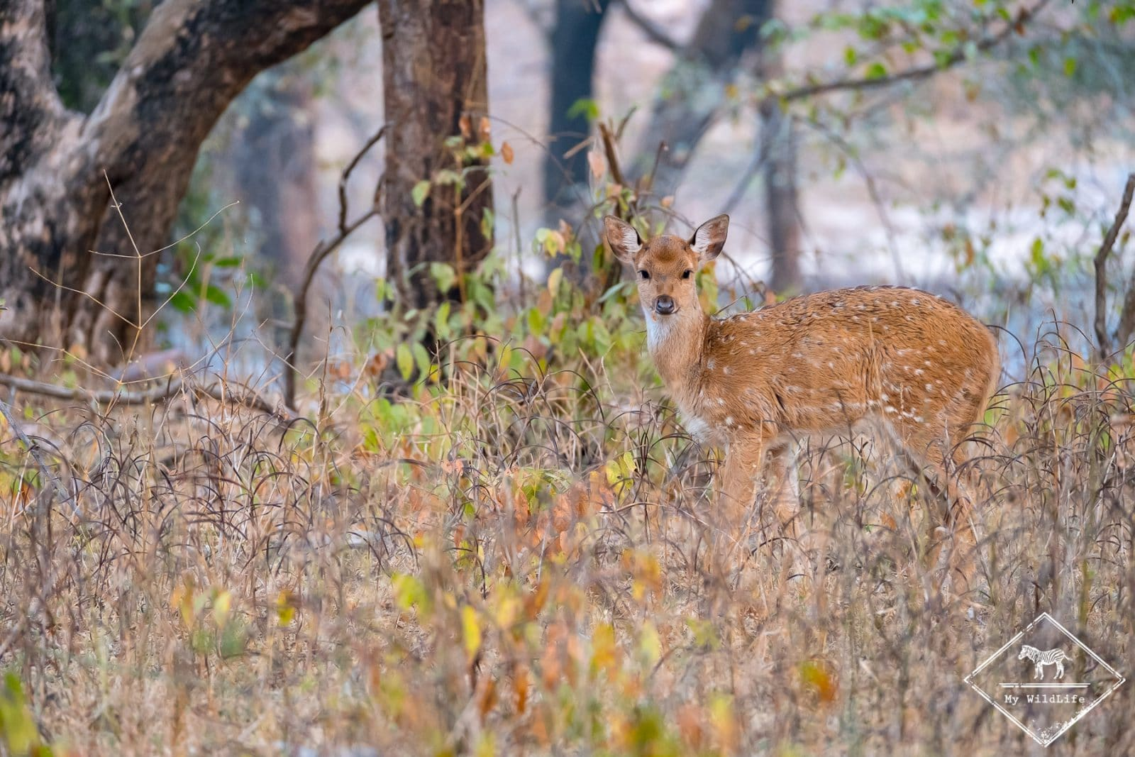 Cerf Axis, Ranthambore