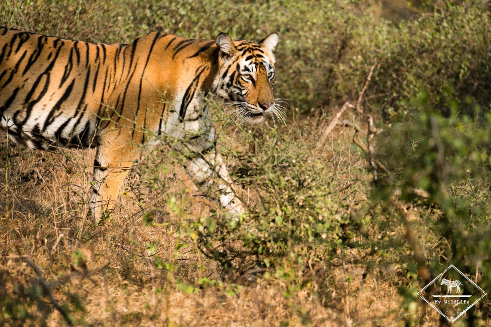 Safari tigre dans le parc national de Ranthambore