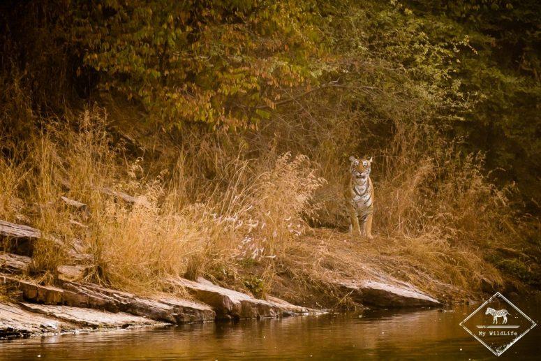Tigre, parc national Ranthambore