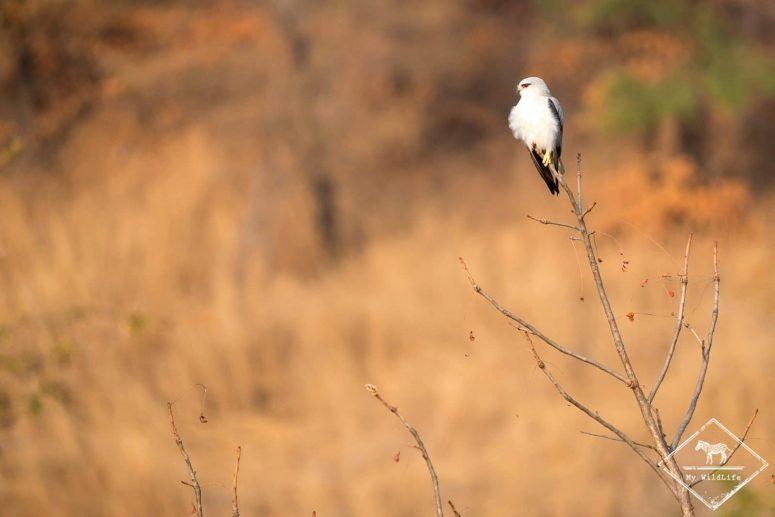 Élanion blanc, parc national Ranthambore
