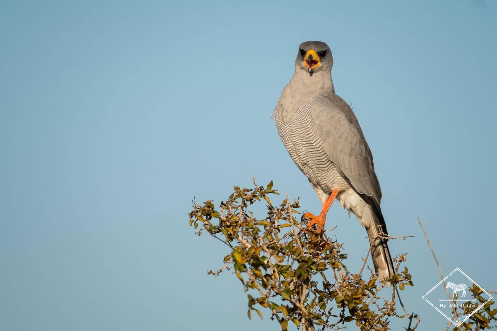 Autour à ailes grises,safari à Tsavo Ouest