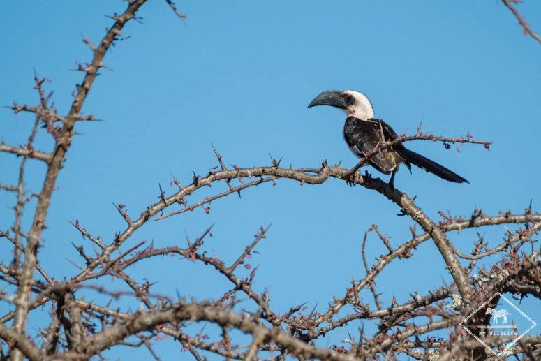 Calao de Decken, parc national Tsavo Ouest