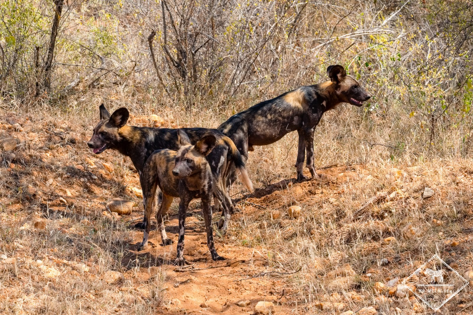 Lycaons,safari à Tsavo Ouest