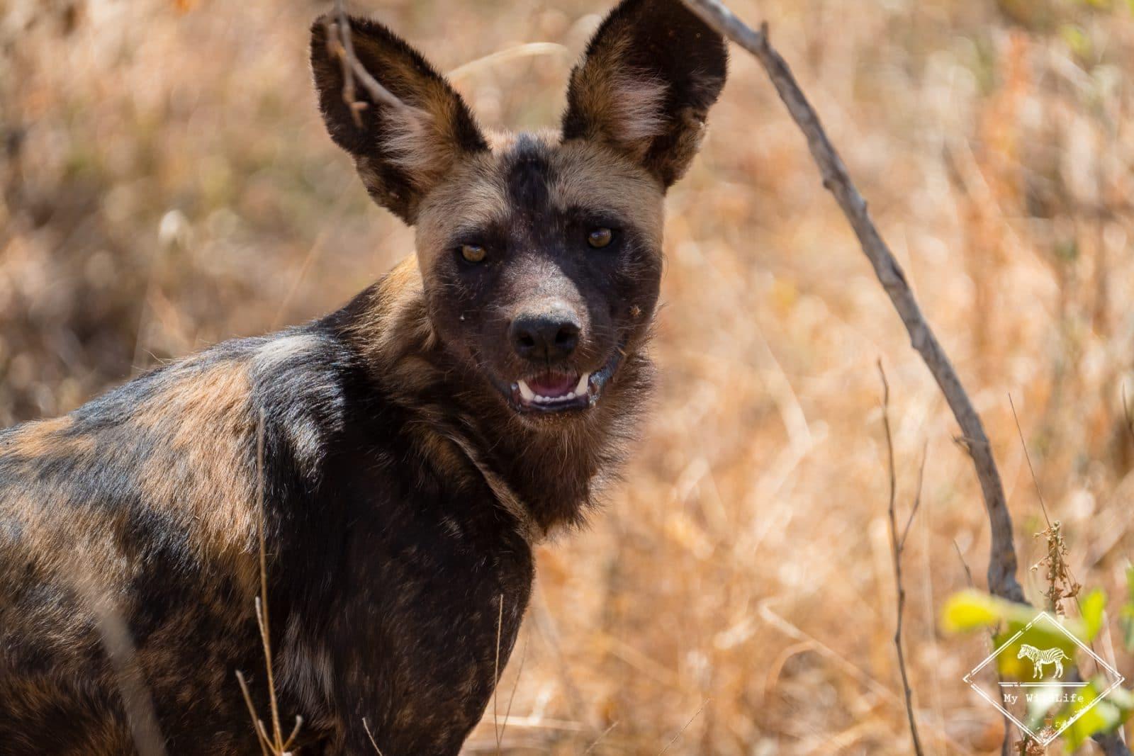 Lycaon,safari à Tsavo Ouest